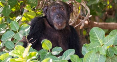 Chimp on Baboon Island in Gambia. Picture from the photo gallery the Gambia on https://www.edvervanzijnbed.nl/en/
