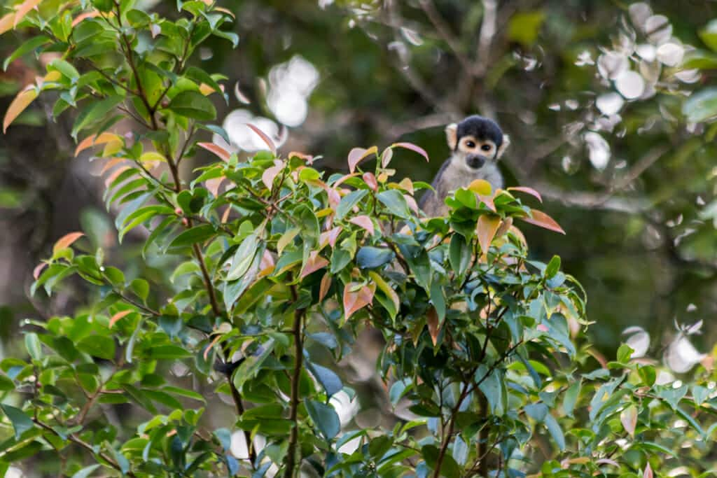 Squirrel monkey in the Mamirauá reserve in the Amazone. Near the Uacari Ecolodge where you can find Uacari monkeys too.